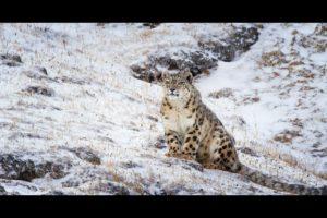 LR-BornInChinaSnowLeopard